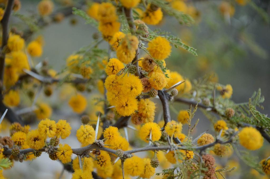 Espinillo Aromo Aromito Acacia Caven Acacia Cavenia